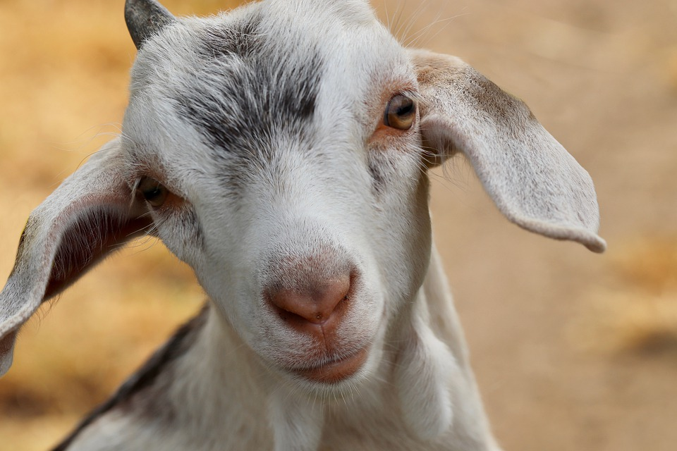Basics of Farm Animal Care